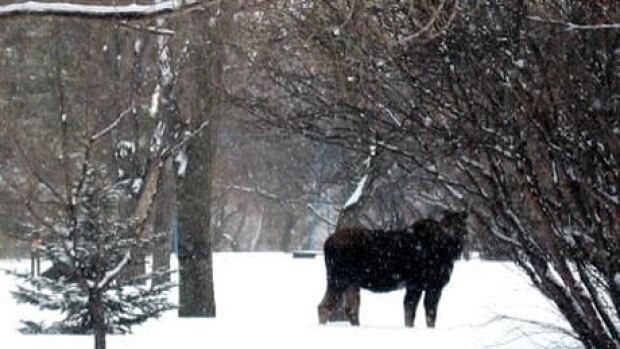 fi-moose-110321