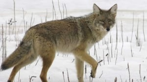 hi-coyote-852-ap