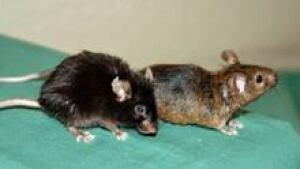 si-mice-aging-220-rollo-cp