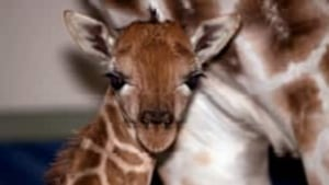 cgy-baby-giraffe-zoo