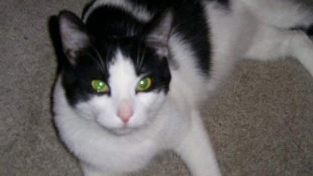 George the cat escaped from his carrier on the tarmac of the Edmonton International Airport in September.
