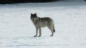si-yukon-wolf-skrutkowski
