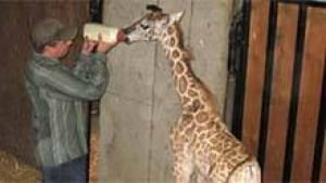 mi-bc-archive-zoo-giraffe