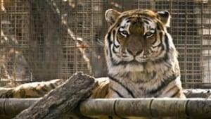 tp-cgy-new-tiger