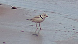 ns-hi-piping-plover