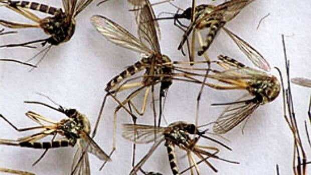 A slow melt and cooler temperatures in central Alberta may mean fewer mosquitos bites this year.