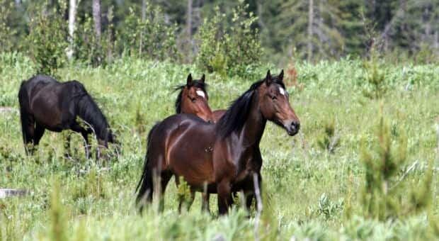 li-wild-horses-alberta