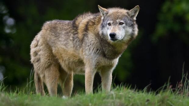 An Atikokan woman said wolves are regular visitors to her property.