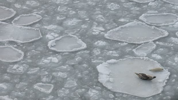 A seal mother and pup on a small ice pan in the Gulf of St. Lawrence.