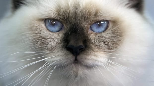 A Burmese cat looks on during an international cat beauty show in Bucharest, Romania, Sunday, Oct. 2, 2011. The Canadian Transportation Agency has ruled that Air Canada and WestJet must protect passengers who are allergic to cats.