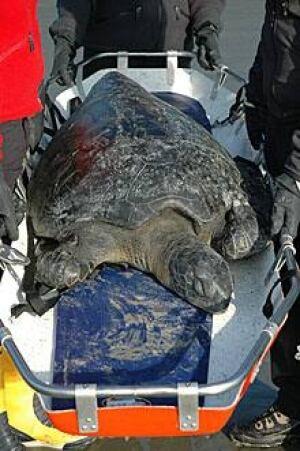 sm-220-green-sea-turtle-bc-01768626