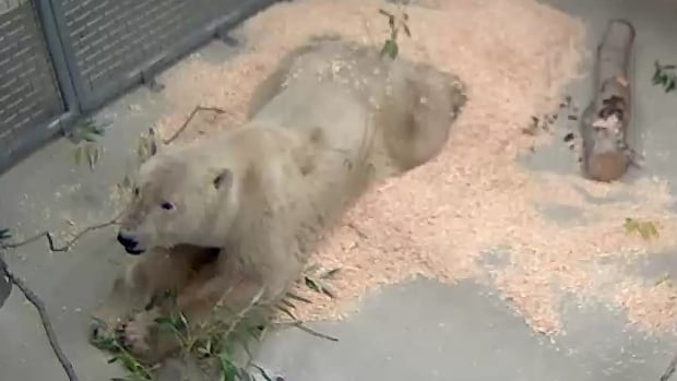 This polar bear attacked a man in Churchill last month and has now arrived at Assiniboine Park Zoo to become a permanent resident. He has not yet been named.