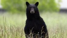 Spring bear hunt now on across Ontario