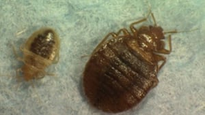 bed-bugs-852