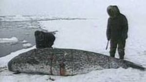 si-inuit-narwhal-hunt-file