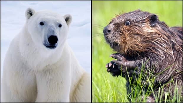 Bear versus beaver? A Conservative senator wants to replace Canada's beaver emblem with the polar bear. (istock)