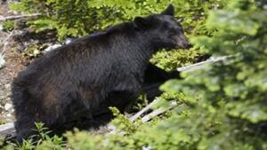 hi-bear-cp-6942079