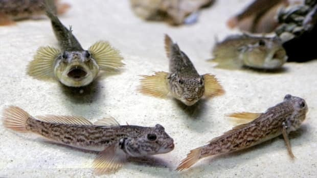 Round gobies swim in an exhibit of invasive species threatening the Great Lakes ecosystem at Chicago's Shedd Aquarium. The small fish from the Black Sea has had some unexpected benefits in the Great Lakes.