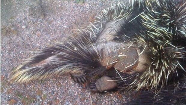 A dead porcupine was found near a road in western Newfoundland.