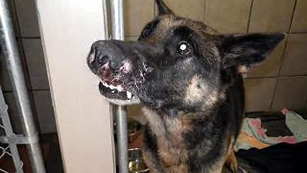 Lucky, a German Shepherd, was stuck in a trap near Cornhill, N.B., for two days.