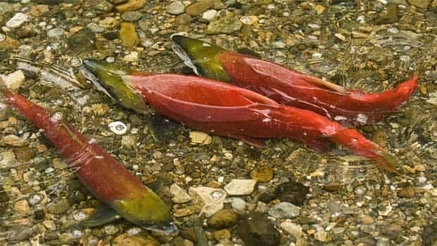 Thousands of household chemicals could be harming salmon populations, an inquiry has heard.  Kristi M. Miller/Fisheries and Oceans Canada