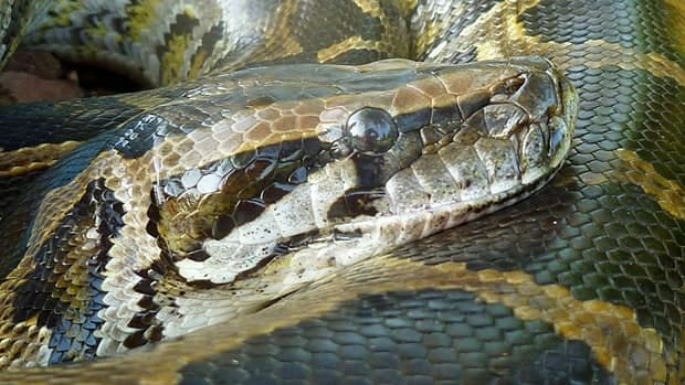 When the Burmese python swallows prey, its metabolism ratchets up more than 40-fold.