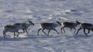 tp-caribou-herd-hunt