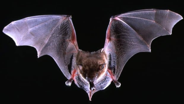 Health officials in Vancouver are warning residents to avoid any contact with bats because of concerns about rabies.
