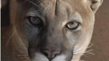 tp-cougar-cp-4115336