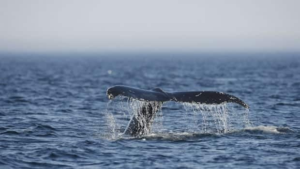 A humpback whale's tail flips out of the water near Les Écumeurs in Quebec's St. Lawrence River.