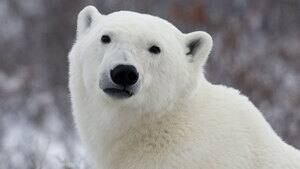 hi-polar-bear-cp-3865797-4col