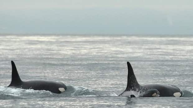 Offshore orcas, one of three groups found off B.C., eat sharks.  Orcas from the other groups eat salmon and marine mammals.