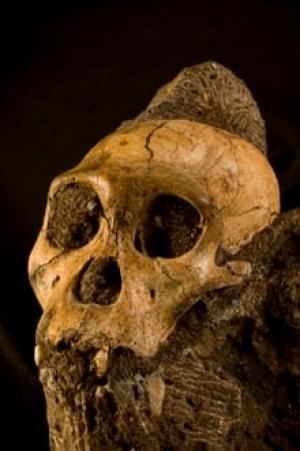 sm-220-sediba-skull-lberger