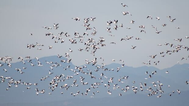 Tens of thousands of snow geese are expected to descend upon Richmond, Delta and Surrey this winter