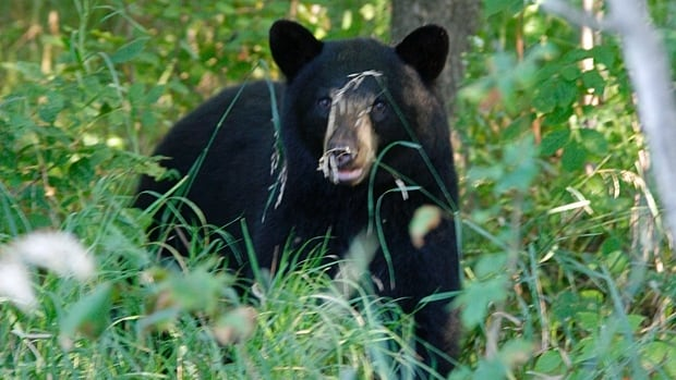 A Thunder Bay man is disappointed with the response he got from the community information line and from 911 when he reported a bear sighting. (stock photo)