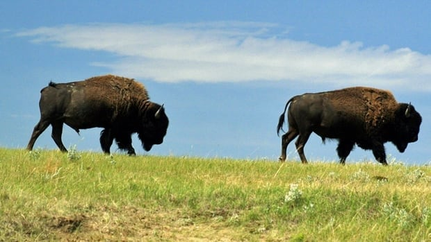 Parks Canada has reintroduced bison into Grasslands National Park in Saskatchewan as part of its ecological restoration efforts.