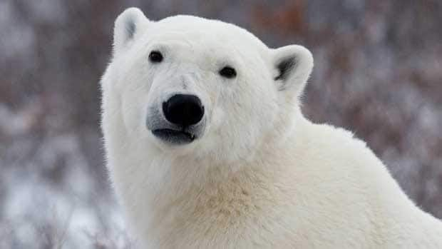 A polar bear faces the camera near Churchill, Man., in 2007. Canada has 13 polar bear subpopulations in Canada's territories and in parts of Manitoba, Ontario, Quebec, and Newfoundland and Labrador.