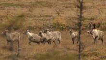 li-nl-caribou-20110802