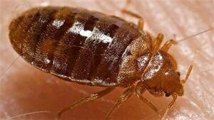 li-bedbugs-620