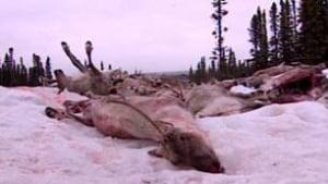 tp-caribou-labrador-201002