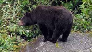 si-black-bear-300-ap-01283938