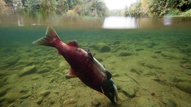 Government biologists claim infectious salmon anemia (ISA) has been in B.C. waters for 25 years.