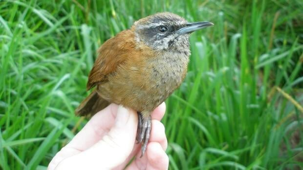 The plain-tailed wren lives mainly among bamboo thickets in the cloud forests of Ecuador.