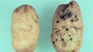 pe-mi-wireworm-potato