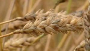 hi-852-wheat-closeup