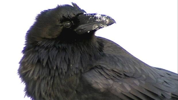 German scientists have found ravens are the only non-primate species to use gestures to communicate with each other.
