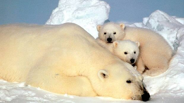 Circumpolar countries have committed to working together in two years to protect polar bears.
