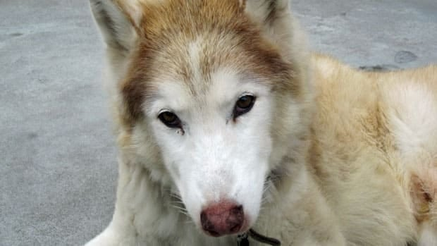 Gianna Tramontin's pet husky, Rocky, was euthanized by the OSPCA without the owner being notified. The organization claimed the animal was suffering and needed to be put down, but Tramontin said Rocky was healthy.