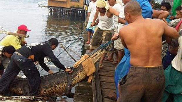 A 4.2 metre saltwater crododile was captured alive in the Philippines on Monday and will be examined to determine if it killed a fisherman last month. The male crocodile had to be tied, blindfolded and carried by more than 10 men.