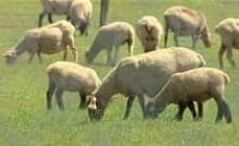cgy-sheep-abuse